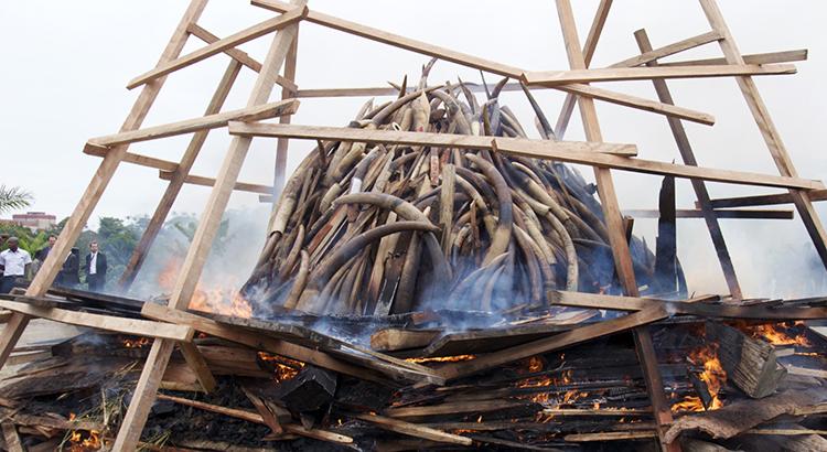 Gabon ivory